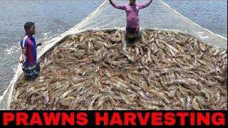 PRAWNS/SHRIMP HARVESTING - EPISODE 2