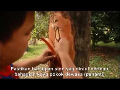 Teknik Sambung Samping Pohon Durian Agar Berbuah Lebat