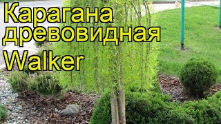 Карагана древовидная Уолкер. Краткий обзор, описание характеристик caragana arborescens Walker