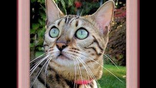Bengal Cat Voice Sound