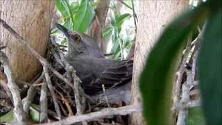 Inside a Mockingbird Nest - A Bird Documentary
