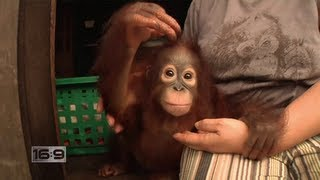 16x9 - Jungle Survivors: Saving Orangutans in Borneo