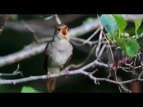 Под окном Черёмуха колышется да поют всю ночку соловьи