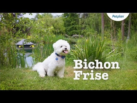Bichon Frise Breed Information: Temperament, Lifespan & more | Petplan