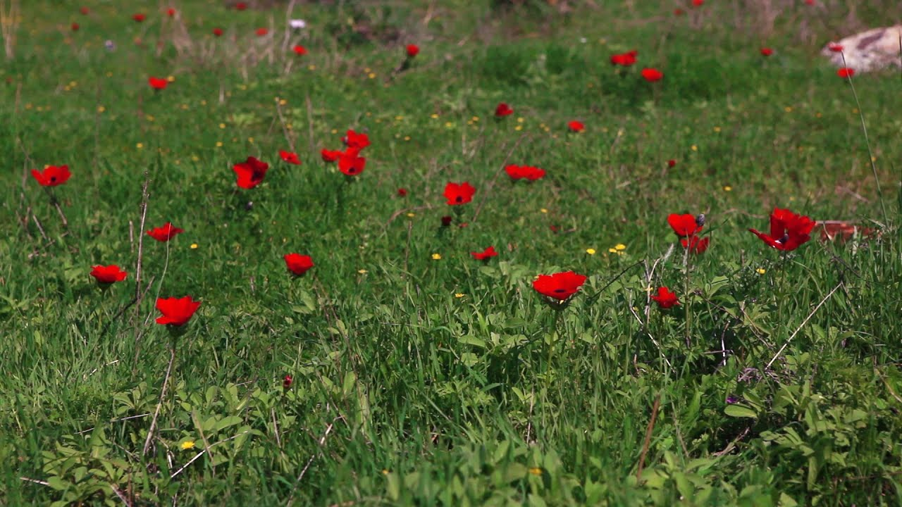 Stock footage of red flowers in a grassy field in israel youtube voltagebd Images