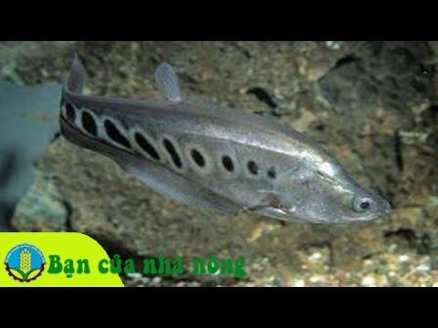 Mô hình, kỹ thuật nuôi cá thác lác cườm