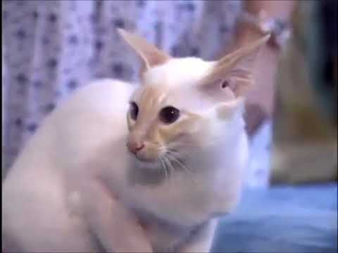 The Balinese Cat Cutest Cat Breeds Cat Facts - Brown Tube