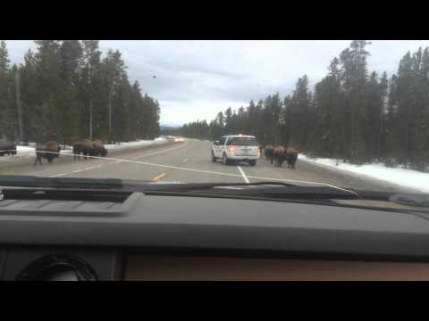 Yellowstone: tourist vs bison on road