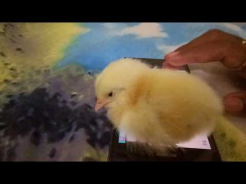 Amazing! Sleeping Chick on piano music
