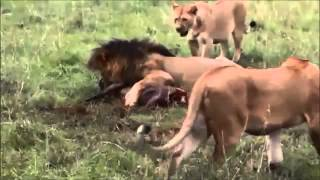 【野生動物の狩り】ハイエナが動物を襲う瞬間The moment when the hyena...
