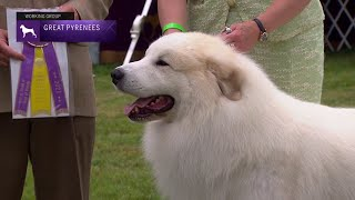 Great Pyrenees | Breed Judging 2021