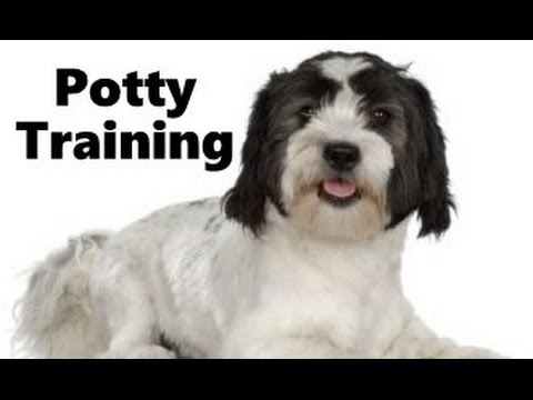 How To Potty Train A Lowchen Puppy - Lowchen House Training Tips - Housebreaking Lowchen Puppies