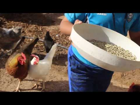 Feeding Chickens with Non GMO and SOY Free Food | Sweet Honeybun Farm