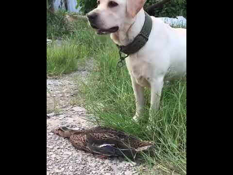 How Duck escaped from Dog with acting of downfall- death and suddenly ran away