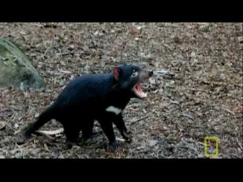 Bite Of The Tasmanian Devil | National Geographic