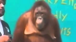 Con khỉ tinh quái trêu ông chủ :) cười đau ruột