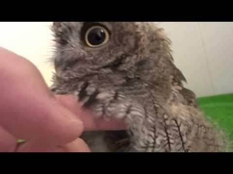 Screech Owl having a bath and then being dried.  / フクロウのクウちゃん、水浴びから乾燥まで