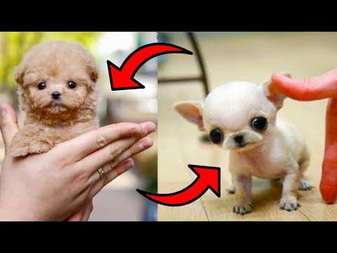 देखिए दुनिया के सबसे छोटे कुत्ते | 5  Smallest Dogs in the world in hindi 2020