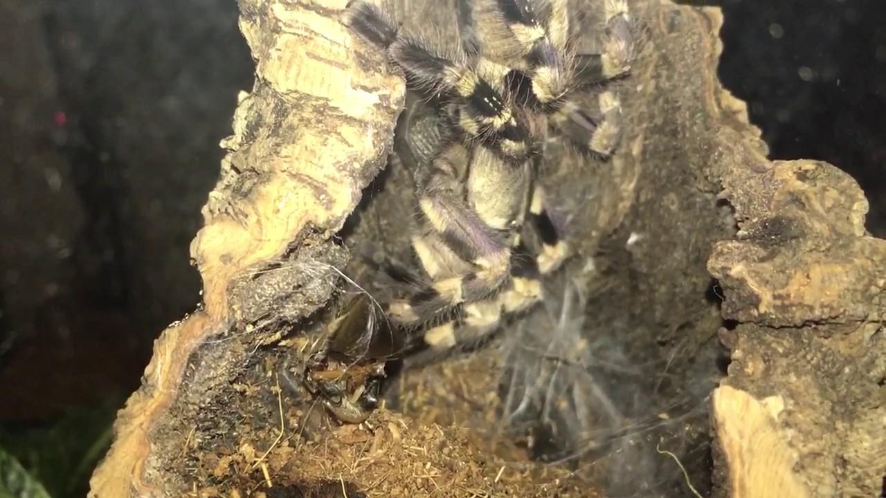 Tiger Ornamental Tarantula (Poecilotheria Tigrinawesseli