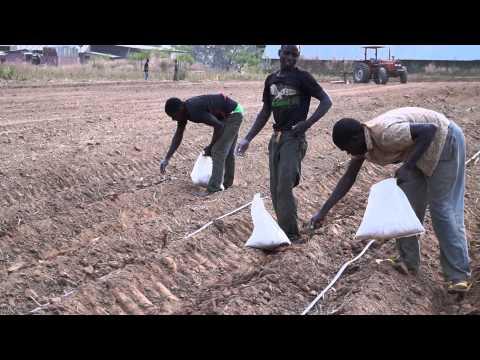 Applying Fertilizer to the Fields in Nigeria