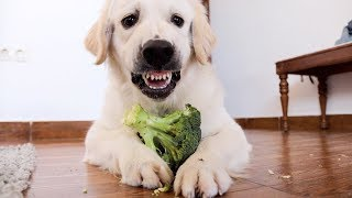 Angry and Cute Dog Protects Food | Funny Puppy Bailey