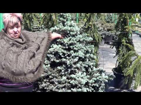 Как выбирать ели в питомнике. сорта елей. садовый дизайн