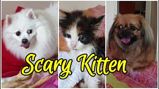 German Spitz Scared By Wet Kitten (don't smile, it wasn't funny for my dogs)