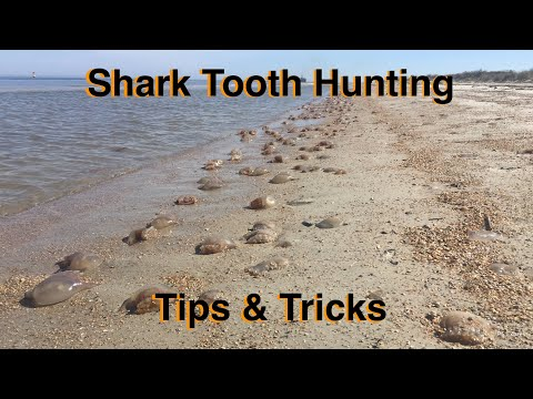Tips & Tricks For Fossilized Shark Tooth Hunting! Jellyfish Beach. Things To Do In Florida.