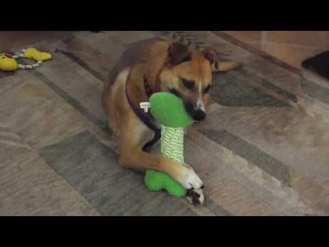 My girl Phoenix: Shelter dog gets adopted and gets her own squeaky toys