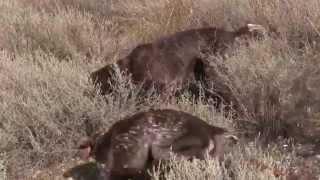 Охота на кеклика в Армении