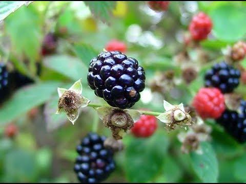 زراعة وإكثار نبات توت العليق الاسود بلاك بيري بالترقيد مشروع رابح Youtube