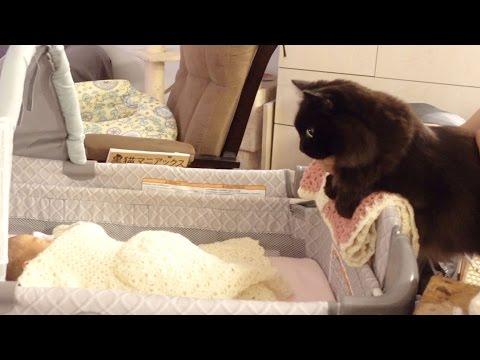 しおちゃん赤ちゃんと初対面 Theo the cat's first meet with a baby
