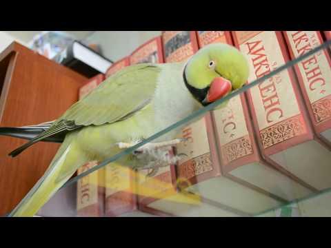 Да я твоего Диккенса... читал! (ожереловый попугай)
