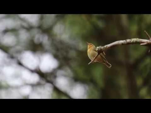 Worm-Eating Warbler Calling
