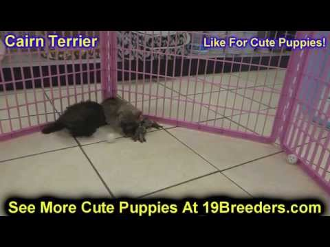 Cairn Terrier, Puppies, Dogs, For Sale, In Charleston, West Virginia, WV, 19Breeders, Parkersburg