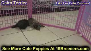 Cairn Terrier, Puppies, For, Sale, In, Weirton, West Virginia, Wv, Kanawha, Monongalia, Cabell, Wood