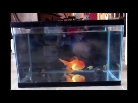 Why A 10 Gallon Tank Is TOO SMALL For A Goldfish.