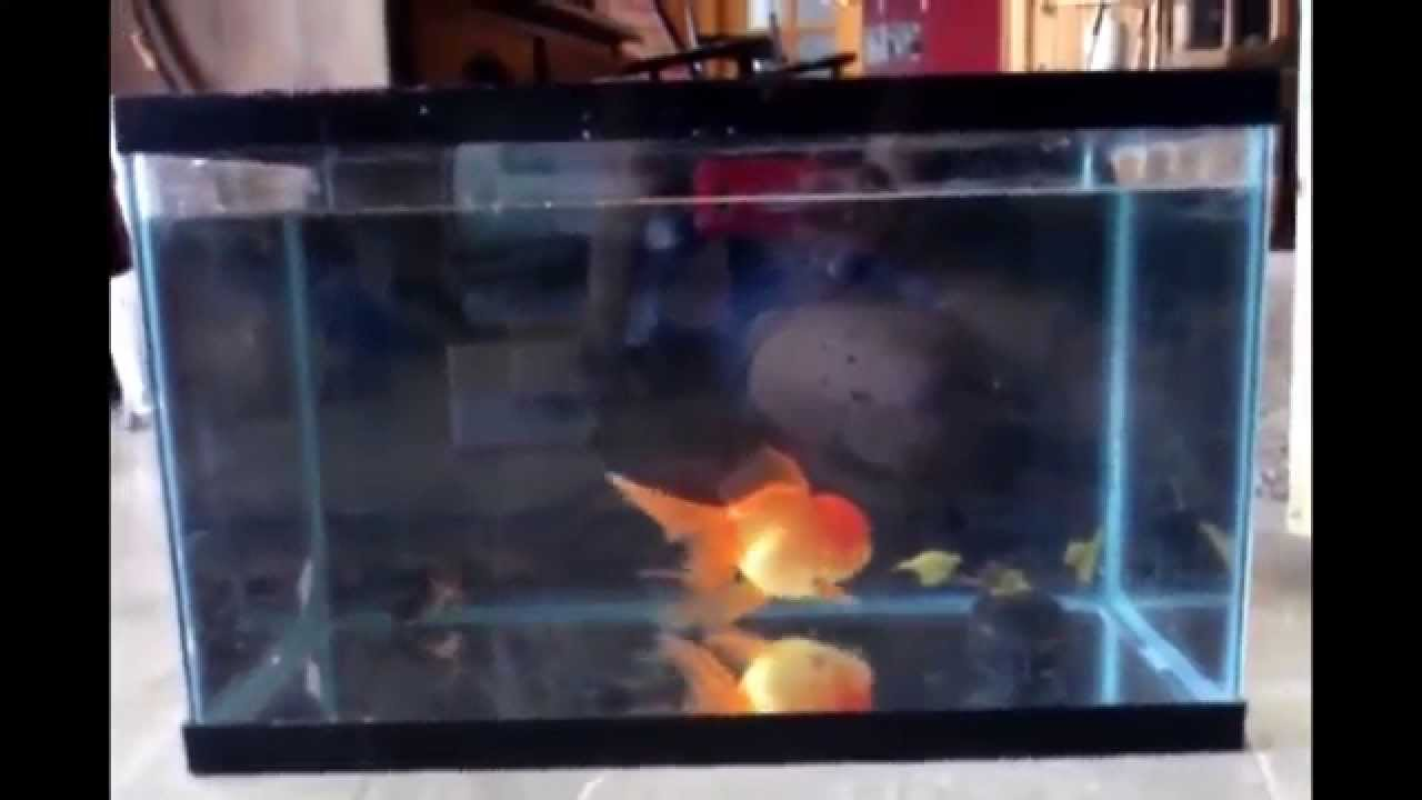 Why a 10 gallon tank is too small for a goldfish youtube for Fish tank for goldfish