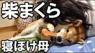 【柴犬どんぐり】寝ぼけた母に枕にされても気にしない柴犬 thumbnail