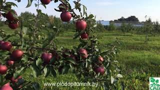 видео Описание сортов яблони (Гевин, Болотовское, Перлына Киева)