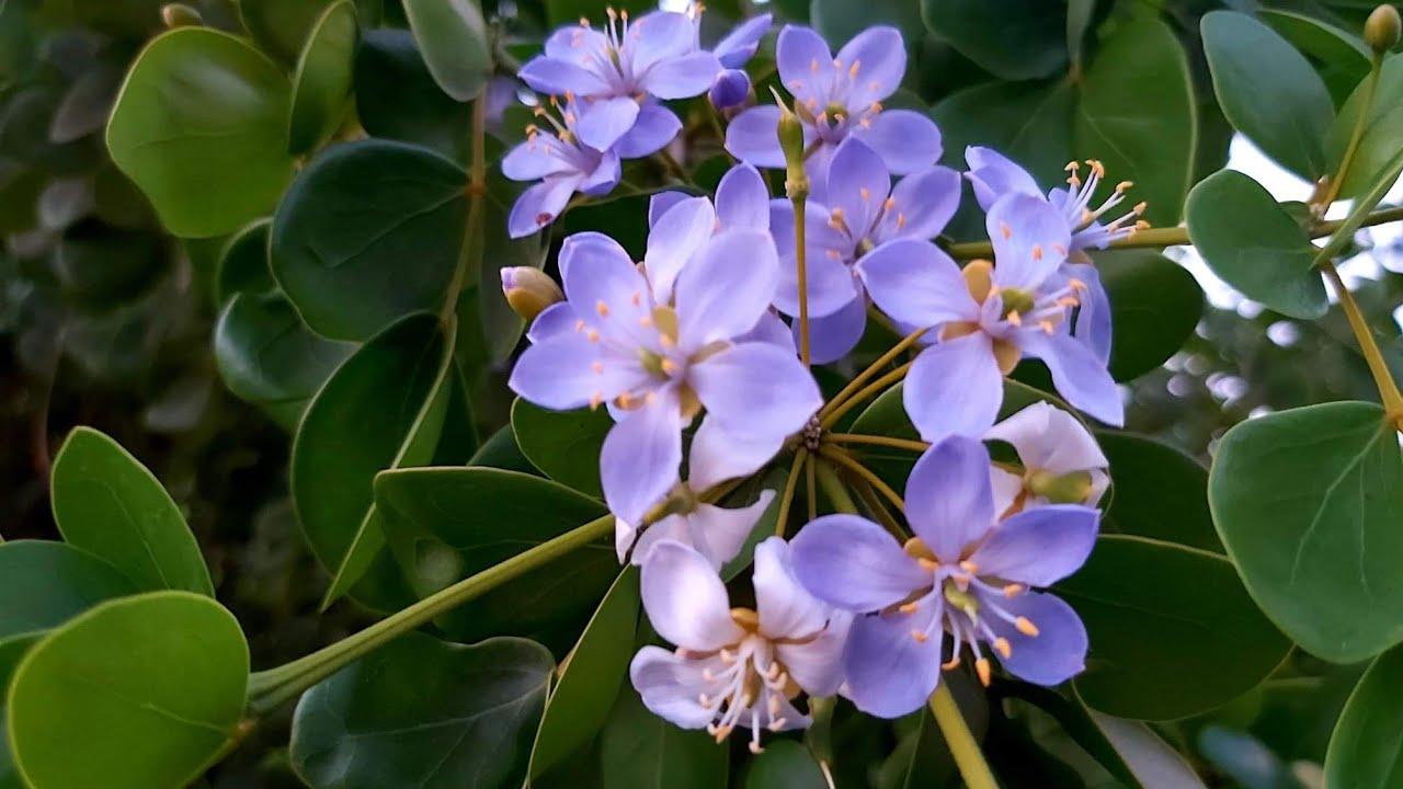 แก้วเจ้าจอม ดอกไม้สีม่วง สวยจนตะลึง