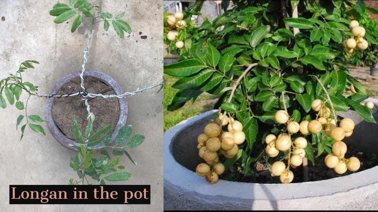Growing Longan Fruit Tree In A Pot
