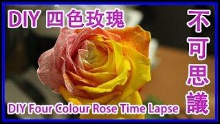 #005【TSC攝影】3分鐘看完拍攝了6天由1001張照片組合成的DIY四色玫瑰從染色到枯萎全過程  Four Colour Rose Time Lapse