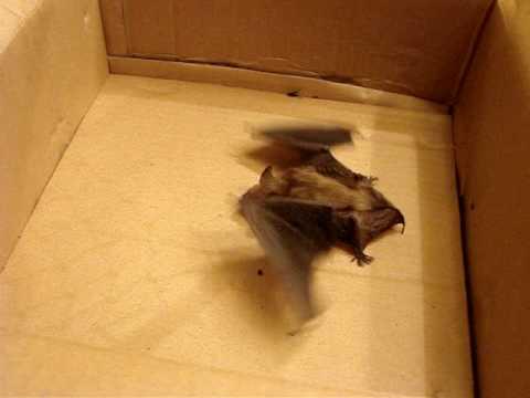 the bat in our basement youtube rh youtube com Dead Bat in Basement Bat Traps Attic