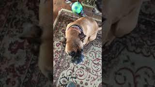 Angel the Talking Boxer Dog