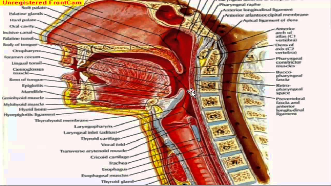 GIT Anatomy - The soft palate and the pharynx. - YouTube