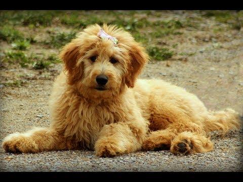 Goldendoodle / Dog Breed