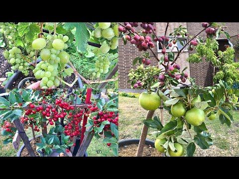 DWARF FRUIT TREES IN CONTAINER GARDEN