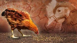 [뉴스초점] 닭에서도 …