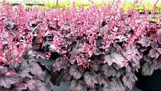 Best Perennials - Heuchera 'Milan' (Coral Bells)